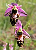 Ophrys scolopax - Ophrys bécasse