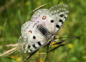 Parnassius apollo - L'Apollon